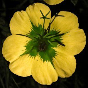 זחל של תיקן לוגם צוף בפרח נר-הלילה החופי. צילם: עוז גולן ©