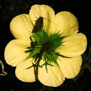 תיקנים בפרחי נר-הלילה החופי. צילם: עוז גולן ©