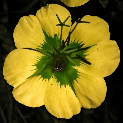 Read more about the article האבקת פרחי נר-הלילה החופי Oenothera drummondii על ידי תיקנים
