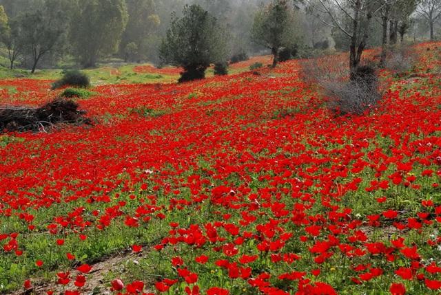 שדה כלניות אדומות. צילם: עוזי פז©