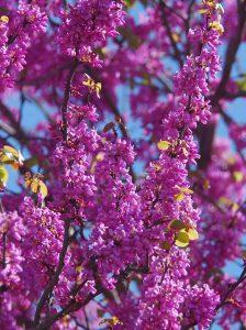 """כליל החורש – """"העץ של יהודה"""". צילם: עוזי פז ©"""