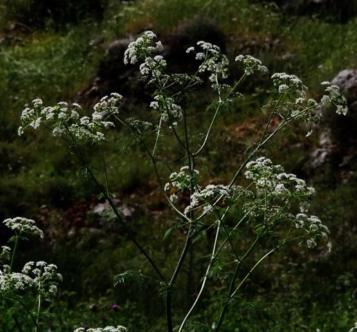 רוש עקודConium maculatum. צילם: עוזי פז©