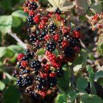 פירות של פטל קדוש. צילם: עוזי פז ©
