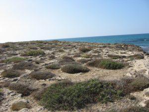 קורנית מקורקפת בחוף הים. צילם: גדי פולק©