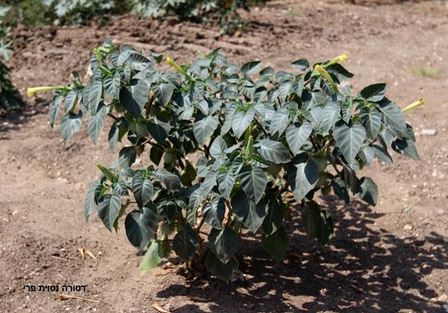 דטורה נטוית-פרי - מראה כללי. הצמח גדל בשולי שדה מעובד. צילמה: ערגה אלוני©