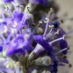 שיח-אברהם מצוי - פרח. צילמה - ערגה אלוני©