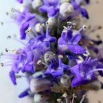 שיח-אברהם מצוי - פרחים. צילמה - ערגה אלוני©