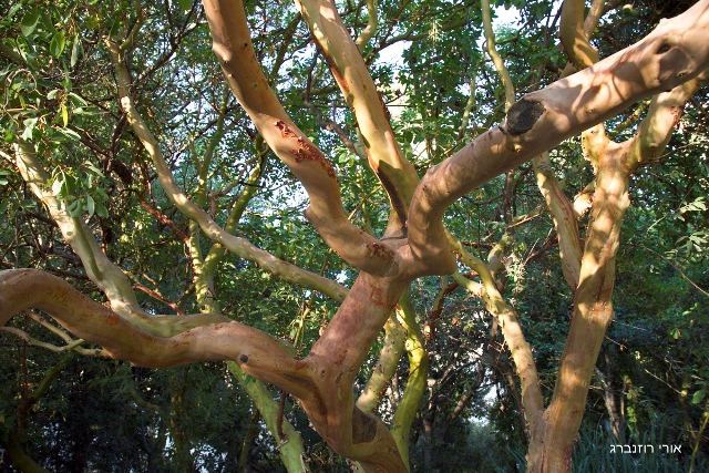 עצי קטלב מצוי בגן הבוטני בהר הצופים. צילם: אורי רוזנברג©