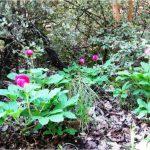 """אדמונית החורש ב""""יער"""" נחל כזיב עליון, הר מירון. צילמה: טליה אורון©"""