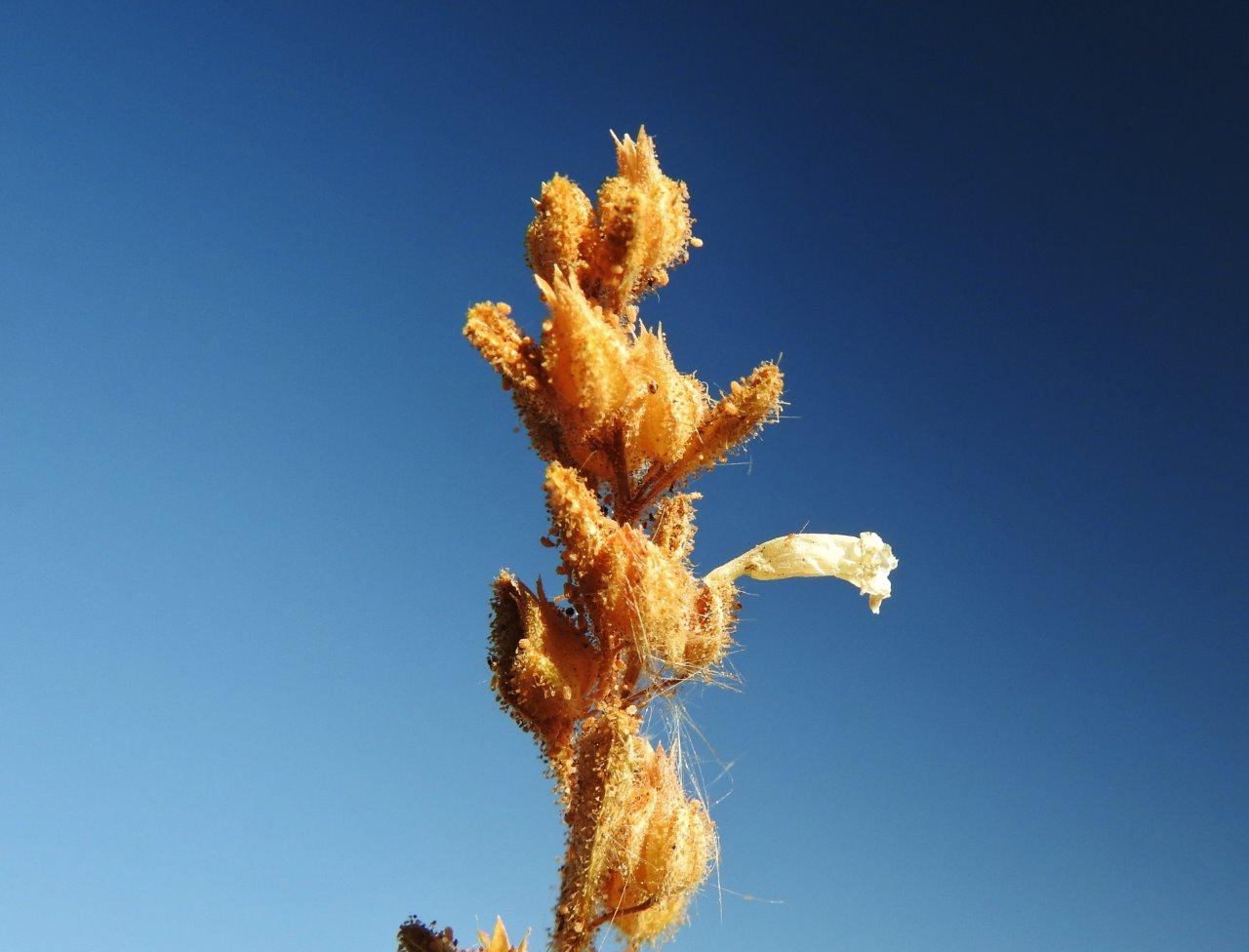 """חדשות בוטניות: אנטיכריס בלוטי, צמח סודני """"אדום"""" – התגלה מחדש בהר-צפחות בהרי אילת"""
