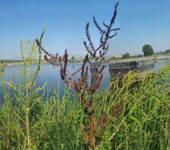 חדשות בוטניות: אוכלוסיה גדולה של חומעת החוף נמצאה בשורק התחתון