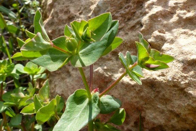 חדשות בוטניות: חלבלוב עב-זרע התגלה מחדש בירושלים לאחר 76 שנה