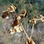 חלבלוב עב-זרע. צילם: רון פרומקין©
