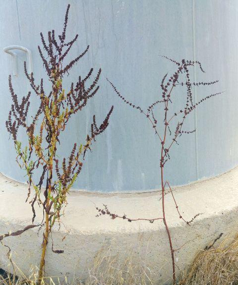 תמונה 4. תפרחות של חומעה משוננת (מימין) וחומעת החוף (משמאל). צילם: עופר הוכברג©
