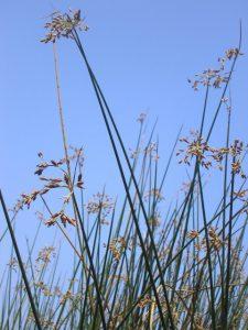 אגמון האגם. צילמה : ליאורה קרת, באדיבות אתר צמח השדה©