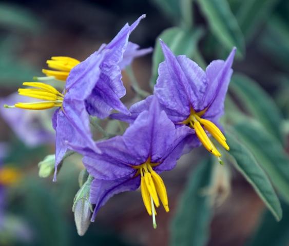 סולנום זיתני- צמח פולש במעזבות ובשדות, פורח עכשיו