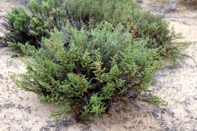 לענה חד-זרעית - מראה כללי של הצמח. צילמה: ערגה אלוני©