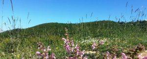 צמחים ממשפחת השפתניים ודגניים גבוהים בחלקה ללא רעייה, שנעלמים בשטחי רעיית הבקר האינטנסיבית.צילמה: טליה אורון©