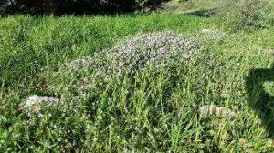 כר עשבוני בהר מירון בחלקה חקלאית שעובדה בעבר וכיום מוברת – הביומסה גבוהה אך המגוון נמוך. צילמה: טליה אורון©