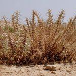 ריסן דק. צילם:עמרם אשל© באדיבות אתר צמח השדה