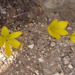 חלמוניות בפריחה במעלה רחבעם. צילם: אבי שמידע ©