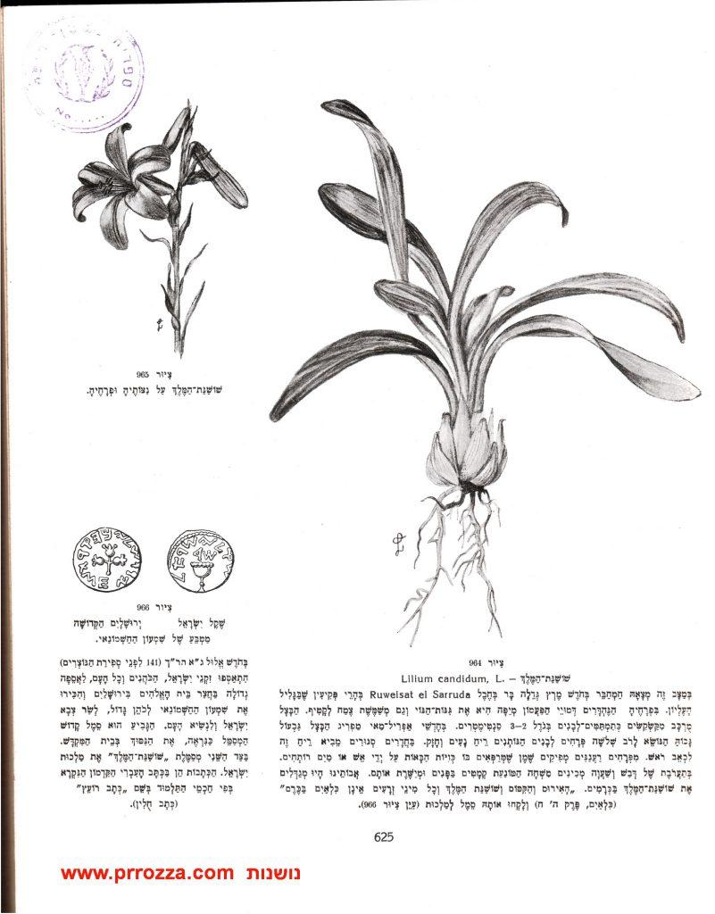 """שושן צחור (""""שושנת המלך"""") מתוך אוצר הצמחים"""