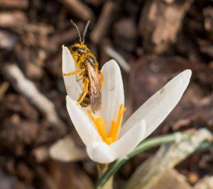 כרכום גיירדו ביער אודם עם דבורת בר מהסוג חריצית Lassioglosum צילמה: חוה להב ©