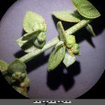 """שני טיפוסי הפירות השונים במיני מלוח מסקציית """"מלוח"""". צילם: R. Prasse ©"""