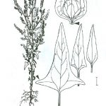 מלוח קטן-פרחים. מתוך: Rothmaler, 1987