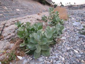 נבטים וצמחונים של פתילת מדבר גדולה בחופי הכנרת הנחשפים בעקבות נסיגת המים. צילם: דוד פורת ©