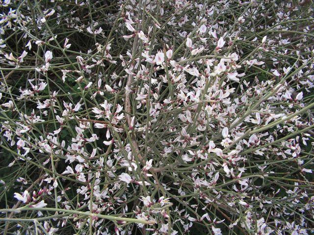 רתם המדבר - מראה כללי בעת שיא הפריחה. צילם: שיר ורד ©