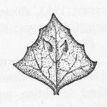 פרי של מלוח פושט. מתוך הפלורה של טורקיה (Aellen, in Davis, 1967)