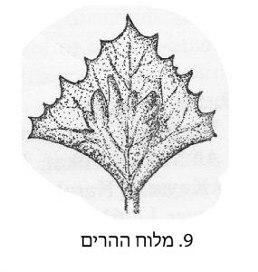 חפיות הפרי של מלוח ההרים. מתוך הפלורה של טורקיה ( Aellen, in Davis, 1967)