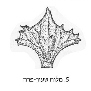 חפיות הפרי של מלוח שעיר--פרח. מתוך הפלורה של טורקיה ( Aellen, in Davis, 1967)