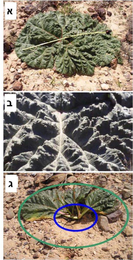 לב-ידון, קציר ונאמן - ריבס המדבר - צמח המשקה את עצמו, איור 1