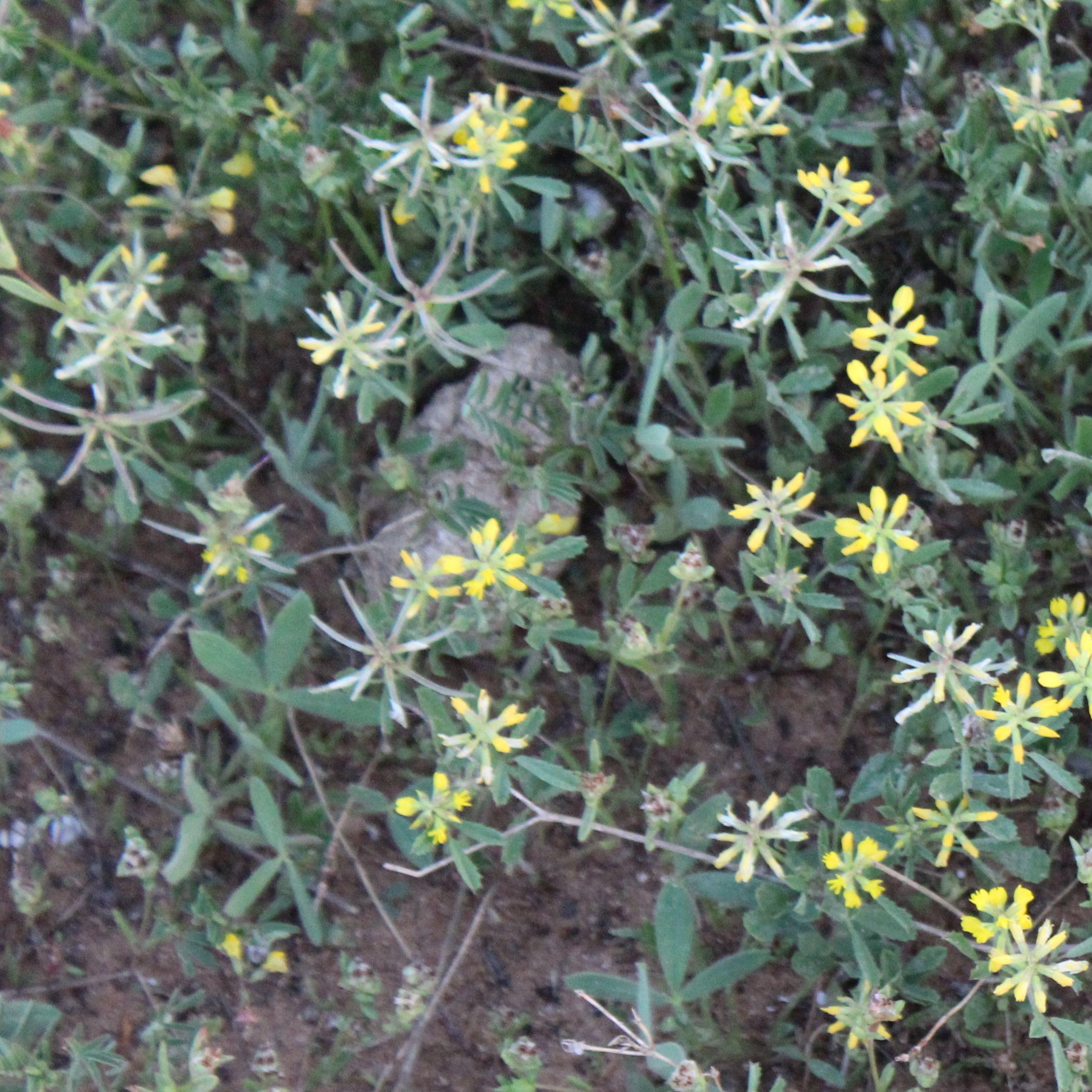 """גרגרנית גלילנית – צמח חודש שבט תשע""""ח"""