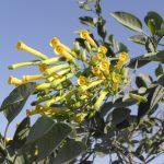שיטת טיפול חדשה להדברת הצמח הפולש  טבק השיח