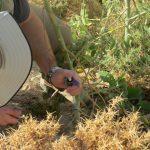 טפטוף של קוטל עשבים ישירות לחתך בגבעול של טבק השיח. צילם: ז'אן מארק דופור-דרור ©
