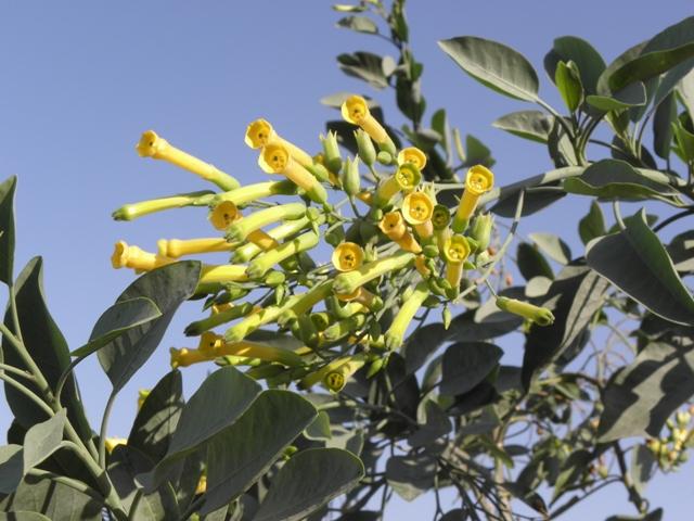 Read more about the article שיטת טיפול חדשה להדברת הצמח הפולש  טבק השיח