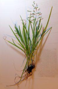סיסנית הגינות - מראה כללי של הצמח השלם בעת הפריחה. צילמה: ערגה אלוני ©