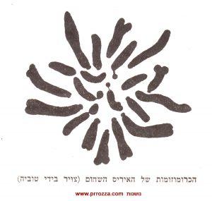 הכרומוזומים של איריס שחום, צויר בידי טוביה קושניר
