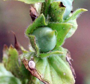 מושיובית הגליל. צילם: יואב גרטמן, באדיבות אתר צמח השדה ©