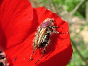 פרחית בפרח כלנית. צילם אבי שמידע ©