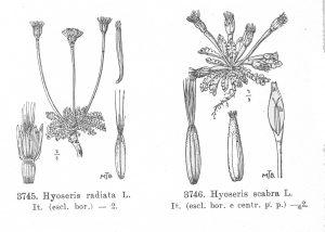 שני מינים של חזרזרת השכיחים באגן הים התיכון וגדלים באיטליה (Fiori 1933 )