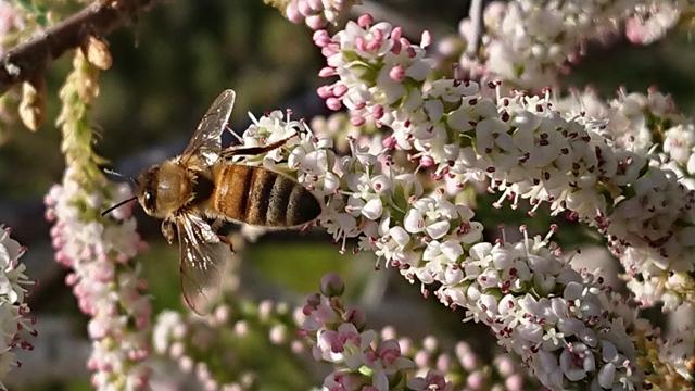 דבורת דבש מבקרת בתפרחות של אשל מרובע. צילם: גדעון סגלי