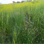 אוכלוסייה גדולה וחדשה של מיאגרון אוזני Myagrum perfoliatum (מין אדום) נמצאה באחו עיינות בפלשת אחרי שהצמח נחשב כנכחד מהמקום
