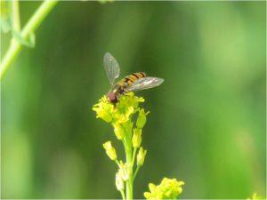 זבוב רחף בפרחי מיאגרון אוזני באחו עיינות. צילם: עופר הוכברג ©