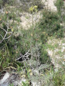 דקורניה מנוצה באתר החדש בפארק גילה. צילמה: יערה הכהן-פלסר ©