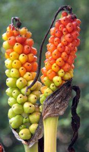 לוף מנומר - פירות. צילמה: ערגה אלוני ©