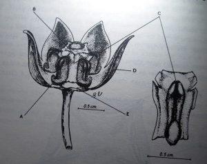 פתילת המדבר הגדולה. מתוך: איזיקוביץ, ד. 1983. בעיות בהאבקת פתילת המדבר הגדולה Calotropis procera (Ait.) Ait. F. רתם 10: 54-45